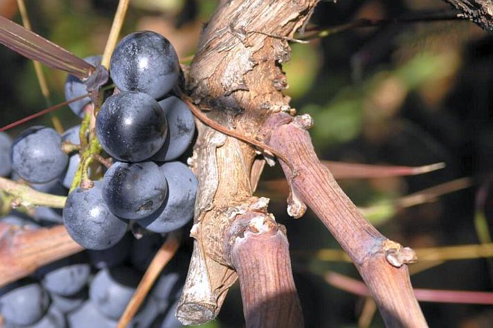 Plavac Mali Grape Variety