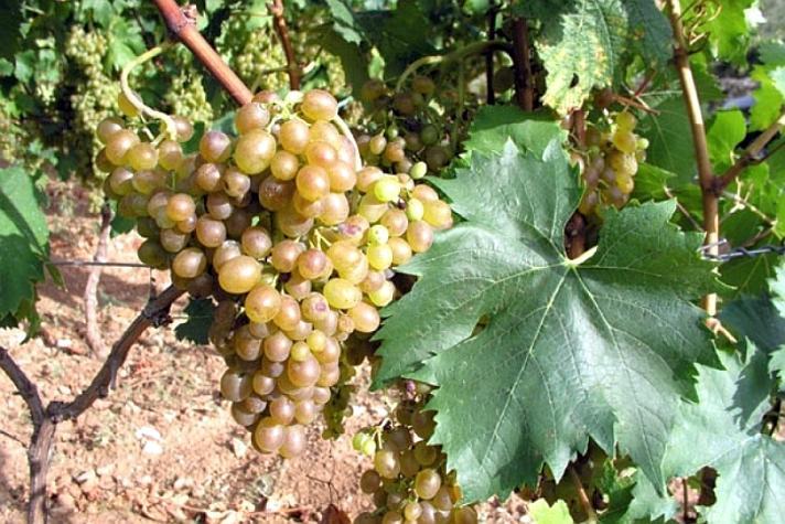 Posip Grape Variety